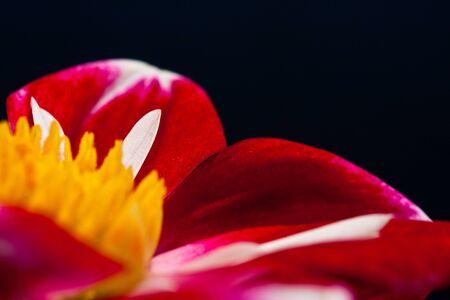 Close-up van rode abstracte bloem met kleine witte blad en gele beebread geïsoleerd op zwart