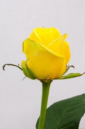 Het portret van een geel Holland nam hoofd toe dat op witte achtergrond wordt geïsoleerd