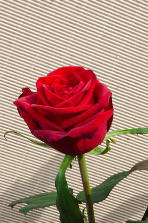 Enkele rode roos met groen blad op gestreepte achtergrond Stockfoto