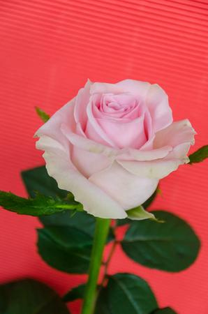Enige roze Holland nam hoofd op koraalachtergrond toe