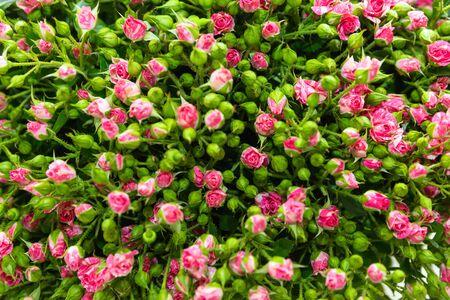 Roze spuitrozen met groene knoppen en bladeren