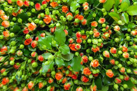 Oranje spray rose bos met groene knoppen en bladeren