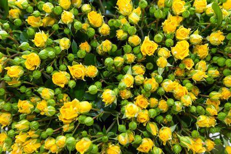 Gele trosroos bos met groene knoppen en bladeren Stockfoto