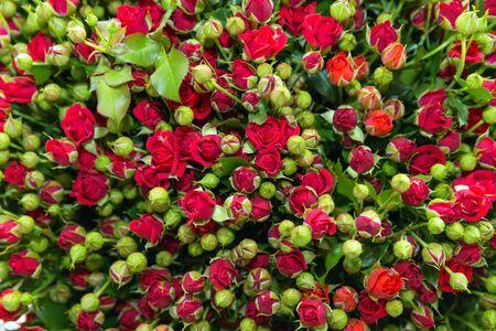 Red trosroos bos met groene knoppen en bladeren