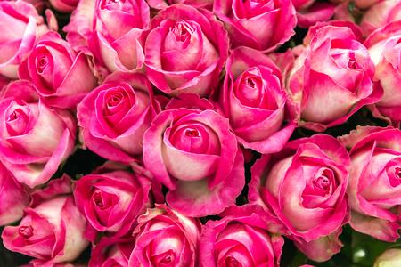 Stelletje roze en witte snoep lawine rozen