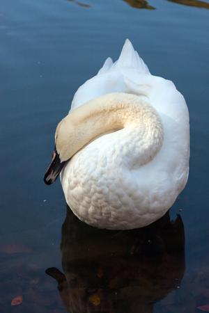 Single sierlijke witte zwaan op zuiver water van een meer