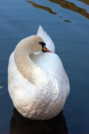 Enkele witte lichtgeraakt zwaan die zich voordeed op zuiver water van een meer