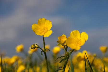 De gele familie van de gebiedsbloem met knoppen op vage gebiedsachtergrond Stockfoto
