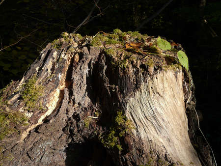 old tree stump with moss