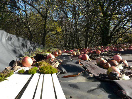 fall apples in autumn