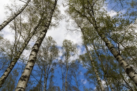 broad leaf: worm s-eye-view of a birch forest