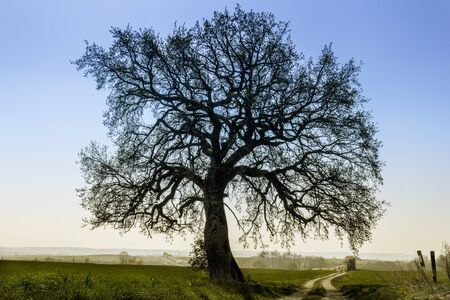 limetree: Lime-Tree clear against the blue sky  Stock Photo