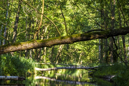 overthrown: overthrown trees on a creek  Stock Photo