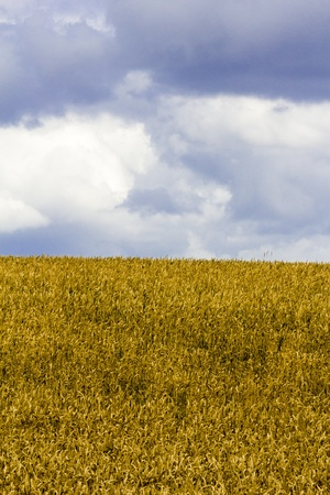 clipping of a wheat field with cloudy sky  photo