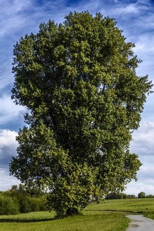 Gran árbol viejo álamo