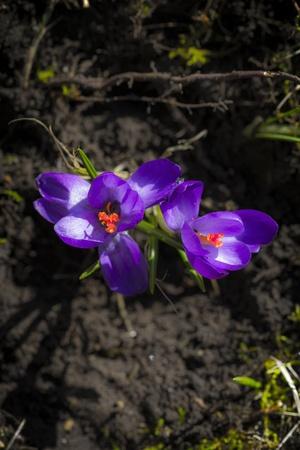 Crocus albiflorus L , springtime  photo