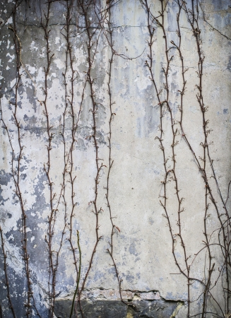 tendrils on an old wall. photo