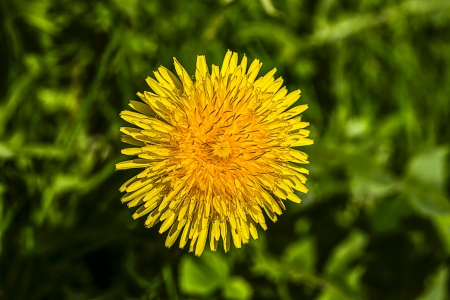 closeup of a common dandelion (taraxacum officinale) photo