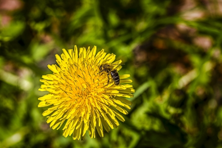 closeup of a common dandelion (taraxacum officinale) with a bee. photo