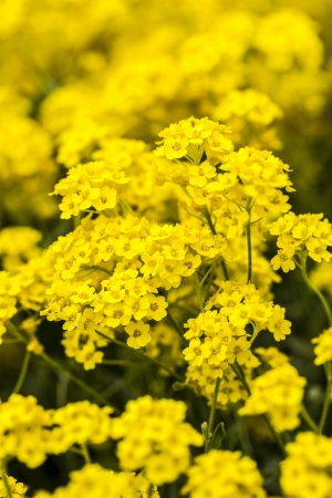 golddust: basket of gold, (Aurinia saxatilis) in spring.