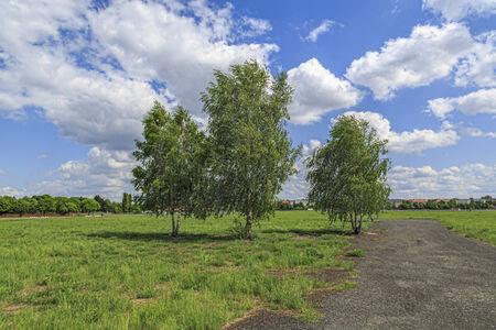 feld: three birch trees at the Tempelhofer Feld, Berlin Germany.