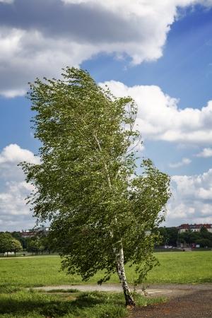 feld: birch tree at the Tempelhofer Feld, Berlin Germany.