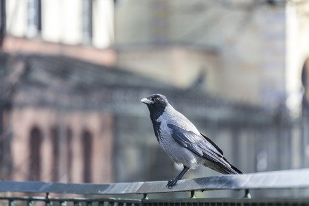 hand rail: hooded crow sitting on a hand rail.