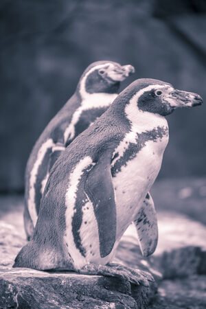 portrait of two penguins with blue and red color filter. photo