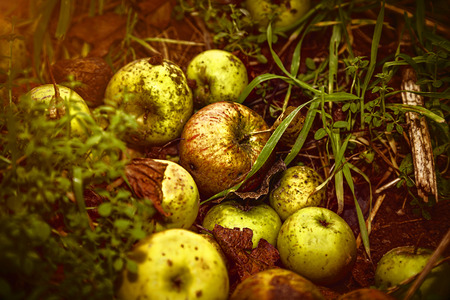 windfalls: close up of some windfalls apples laying in the dirt Stock Photo