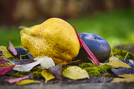 autumn outdoor still life with quince, black apple and leaves photo