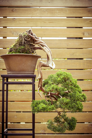 downwards: old bonsai tree in a  flower pot grows downwards Stock Photo