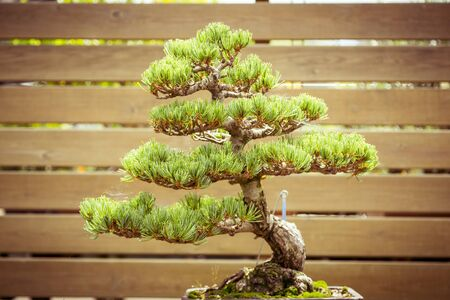 tree decorations: close up of an old bonsai tree in a  flower pot Stock Photo