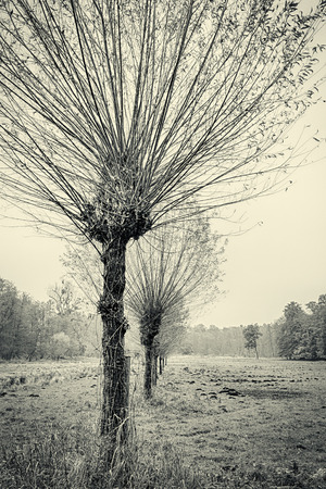 willow trees in a row, in autumn,vintage version photo