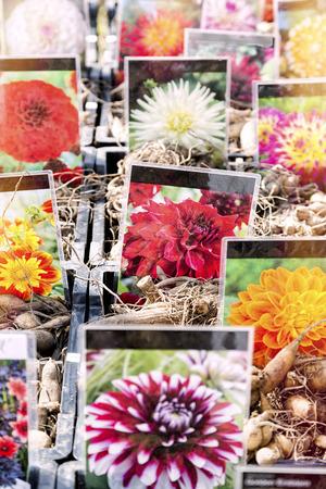 big flower: Flower stall at botanischer Garten, botany garden. Every year in springtime there is a big flower market. Stock Photo