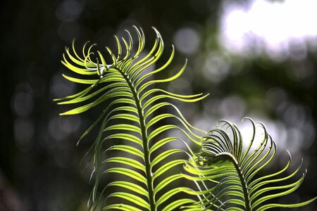 fiddlehead: close up of young fern with bokeh in background Stock Photo