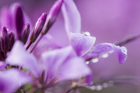 water drip: close up of morning dew on purple blossoms