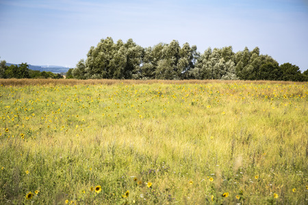 wild field with sun flowers and blue sky