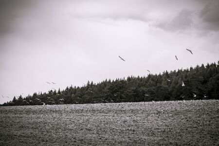 dream land: black and white shot of flying seagulls over  arable land Stock Photo
