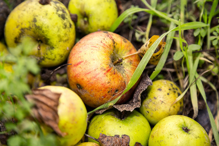 close up of some windfalls apples laying in the dirt Stock Photo