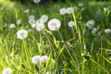 some dandelions on a spring meadow Stock Photo