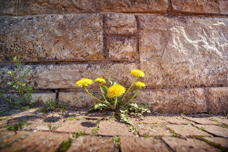 springtime, dandelions growing through stones Imagens