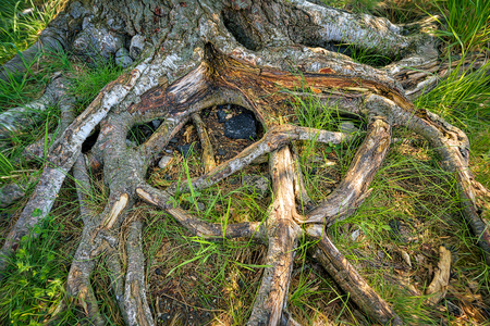 the roots of an old tree, HDR close up