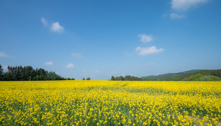 landscape with big rapeseed field and blue sky Stock Photo