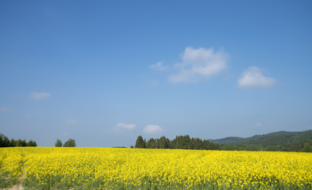 landscape with big rapeseed field and blue sky 版權商用圖片
