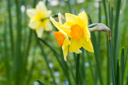 narcissist: Beautiful narcissus flowers inside Rome Biopark