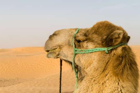 observes: Dromedary observes Sahara desert sand dunes Stock Photo