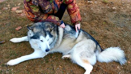 A woman is brushing the dog hair of a husky