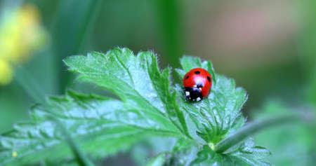 A focus on a red and black ladybug on a green leaf Zdjęcie Seryjne