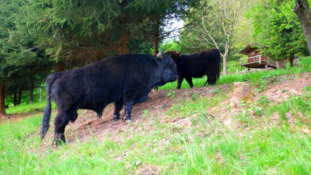 A scene of black highlands cows in a forest of Scotland
