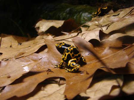 dendrobates: Dendrobates leucomelas or Poisoned Dart Frog in forest Stock Photo